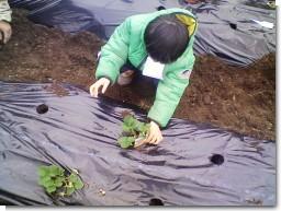 イチゴ苗植え.jpg