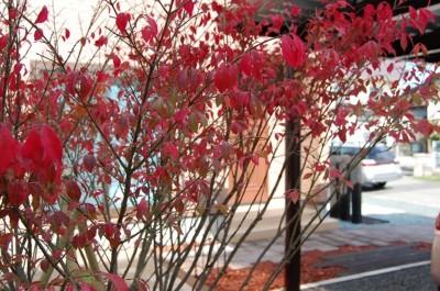 ニシキギ紅葉の葉.JPG