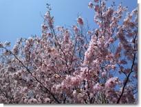桜0504.JPG